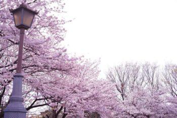 てんこ盛りの桜。この時点ですでに心は充分踊っていました♪